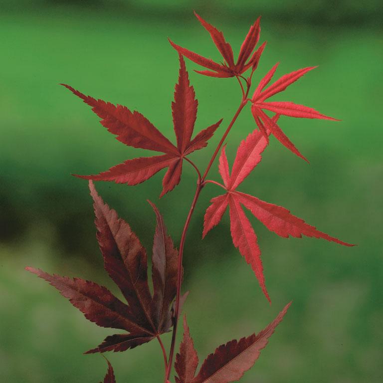 Acer palmatum 'Bloodgood' sierlijke esdoorn