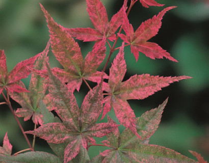 Acer palmatum 'Beni-maiko' - Japanse esdoorn