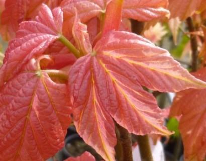 Acer pseudoplatanus 'Brilliantissimum' op stam