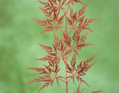 Acer palmatum 'Dissectum Garnet' - Japanse esdoorn
