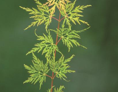 Acer palmatum 'Emerald Lace' - Japanse esdoorn