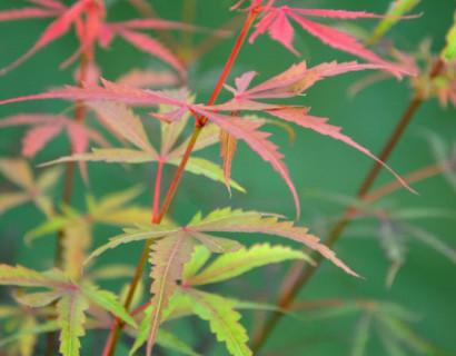Acer palmatum 'Jerre Schwartz' - Japanse esdoorn