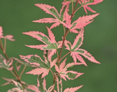 Acer palmatum 'Marlo' - Japanse esdoorn