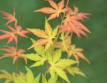 Acer palmatum 'Orange Dream' - Japanse esdoorn
