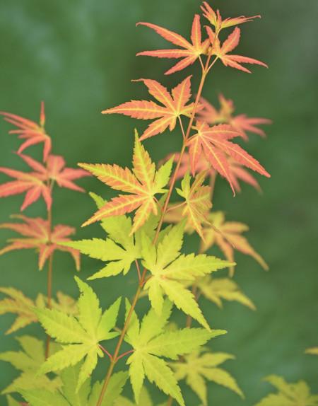 Acer palmatum 'Orange Dream' - Japanse esdoorn
