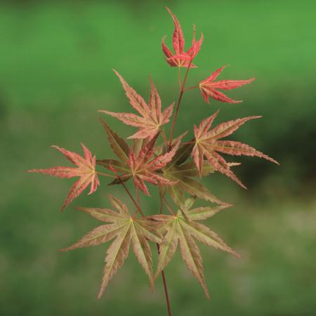 Acer palmatum 'Phoenix' - Japanse esdoorn