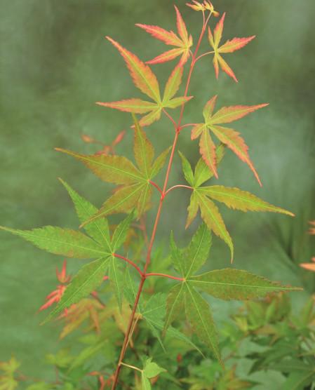 Acer palmatum 'Sangokaku' - Japanse esdoorn