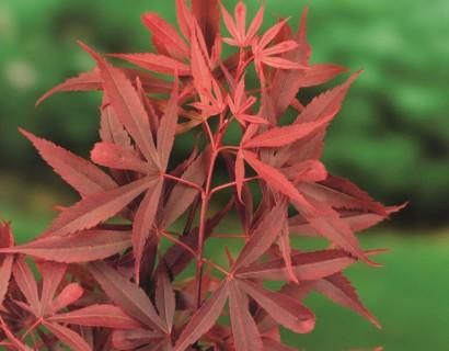 Sierlijke esdoorns (Acer palmatum en shirasawanum soorten) voor de Japanse tuin.