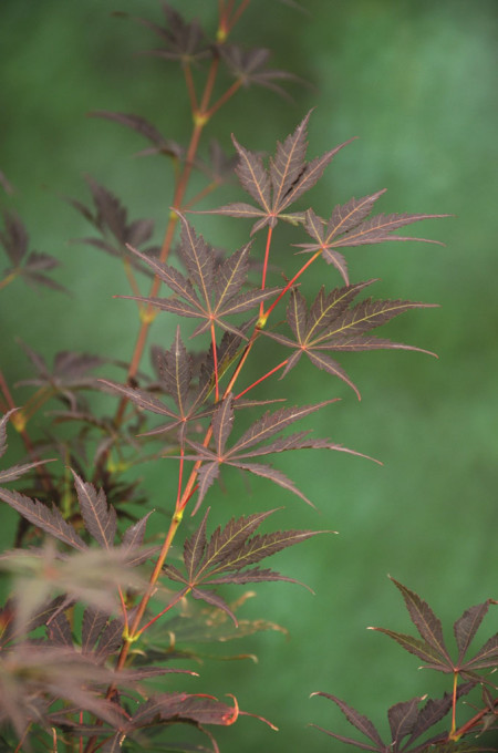 Acer palmatum 'Sumi-nagashi' - Japanse esdoorn