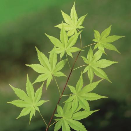 Acer palmatum 'Summergold' - Japanse esdoorn