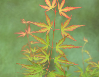 Acer palmatum 'Wilson's Pink Dwarf' - Japanse esdoorn