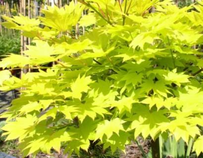 Acer shirasawanum 'Aureum' - Japanse esdoorn