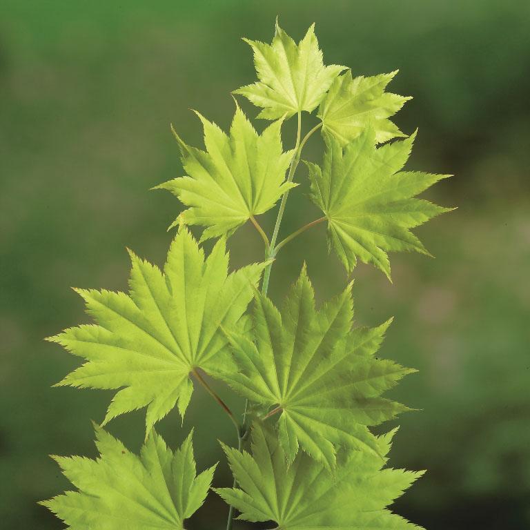 Acer shirasawanum 'Jordan' - Japanse esdoorn
