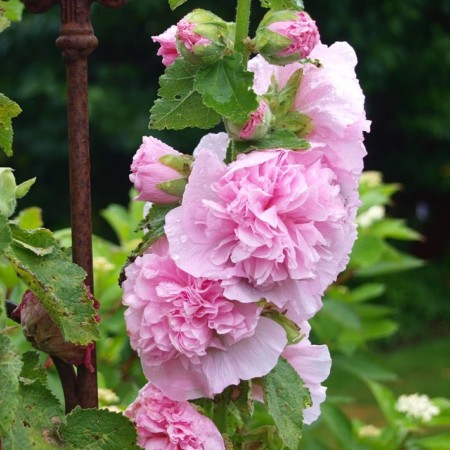 Alcea rosea 'Chaters Double Pink' (grote pot) - stokroos