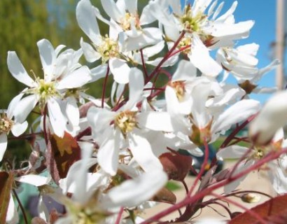 Amelanchier arborea 'Robin Hill' pot 8/10 - krentenboom