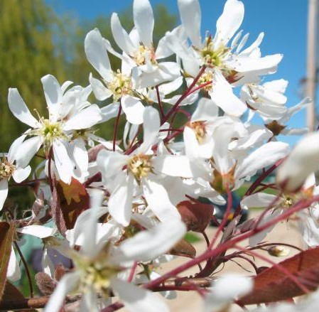 Amelanchier arborea 'Robin Hill' in pot