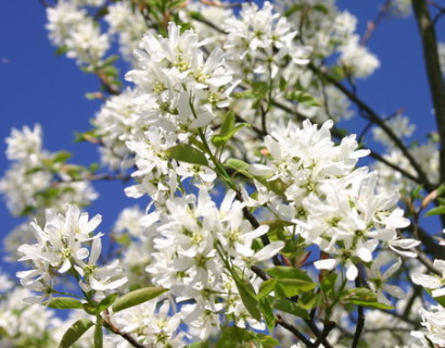 Amelanchier 'Ballerina' - krentenboom