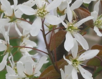Amelanchier lamarckii krentenboom hoogstam in pot