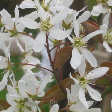 Amelanchier lamarckii boom - krentenboom