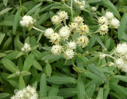 Anaphalis triplinervis - siberische edelweis