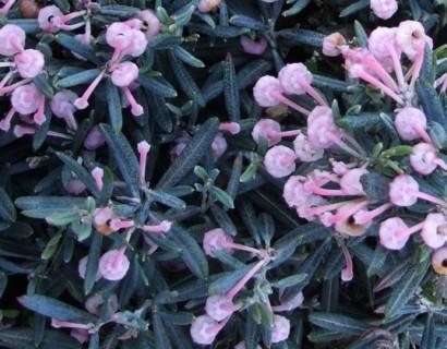 Andromeda polifolia 'Blue Ice' - Lavendelheide