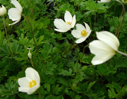 Anemone sylvestris - anemoon