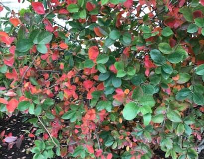Aronia arbutifolia 'Brilliant' - appelbes