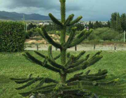 Araucaria araucana - apenboom, slangenden