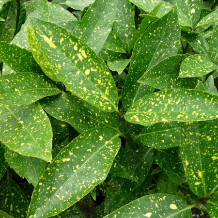 Aucuba japonica 'Variegata' - broodboom