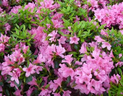 Azalea japonica 'Mme van Hecke'