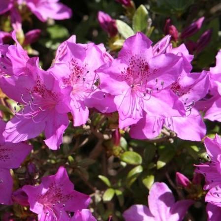 Azalea japonica 'Amoena' - azalea