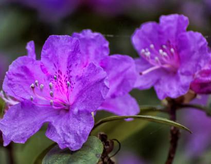 Azalea japonica 'Blaue Donau' - azalea