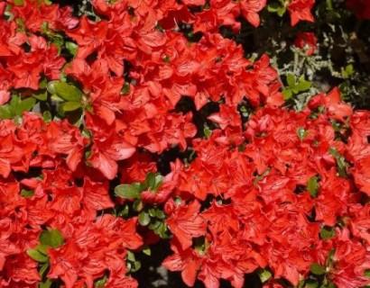 Azalea japonica 'Geisha Orange' - azalea