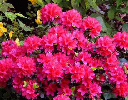 Azalea japonica 'Hino Crimson'