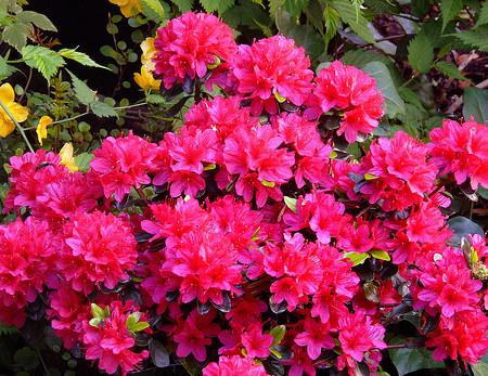 Azalea japonica 'Hino Crimson' - azalea