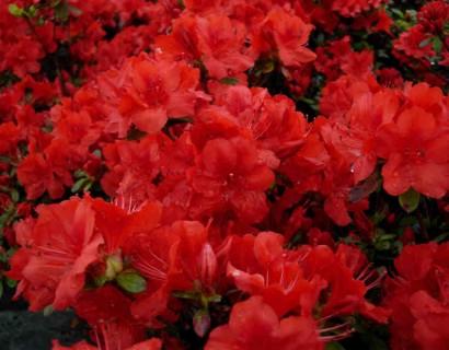 Azalea japonica 'Moederkensdag' pot 3 liter