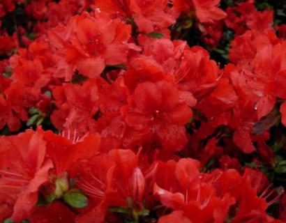 Azalea japonica 'Moederkensdag' pot 3 liter - azalea