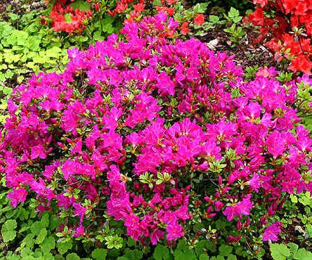 Azalea japonica 'Purpurtraum' - azalea
