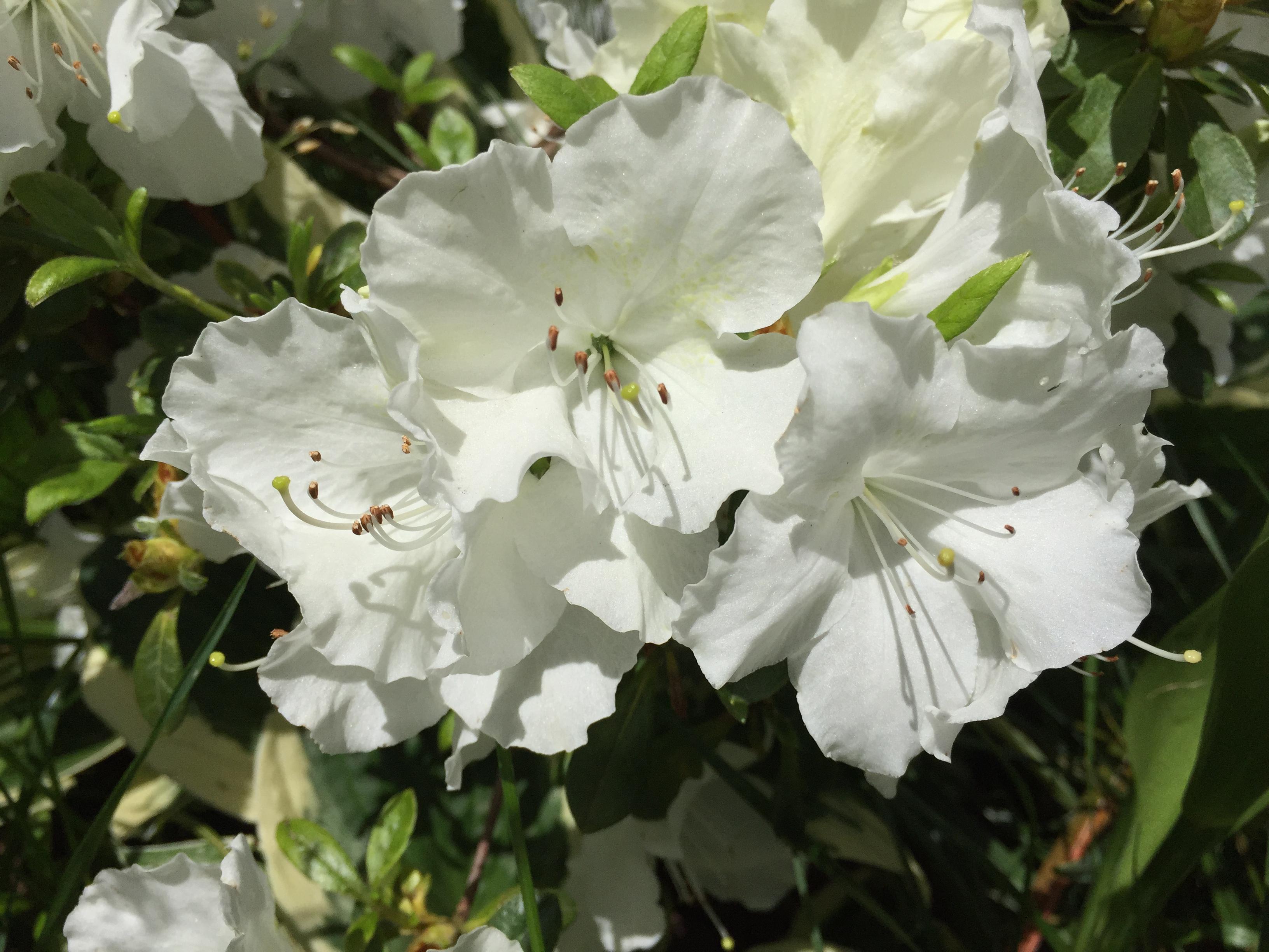 Azalea japonica 'Pleasant White' - azalea