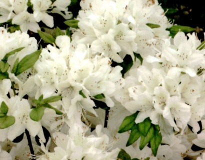 Azalea japonica 'Schneewittchen' pot 3 liter