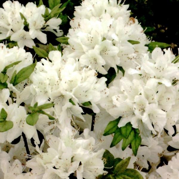 Azalea japonica 'Schneewittchen' - azalea