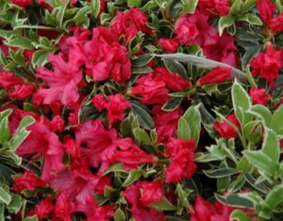 Azalea japonica 'Silver Sword' - azalea