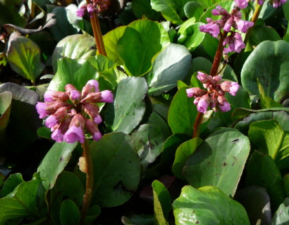 Bergenia cordifolia - schoenlappersplant