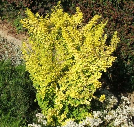 Berberis thunbergii 'Aurea' - zuurbes