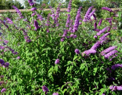 Buddleja davidii 'Border Beauty'