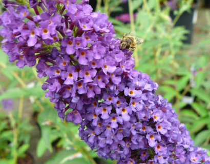 Buddleja davidii 'Empire Blue' - vlinderstruik