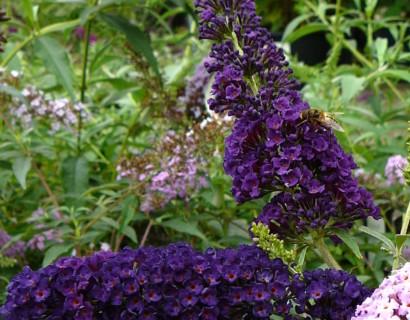 Buddleja davidii 'Black Knight' - vlinderstruik