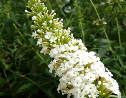 Buddleja davidii 'White Profusion' pot 2 liter