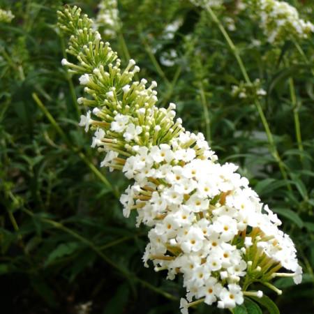 Buddleja davidii 'White Profusion' - vlinderstruik
