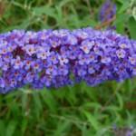 Hoe moet ik mijn vlinderstruik of Buddleja snoeien?